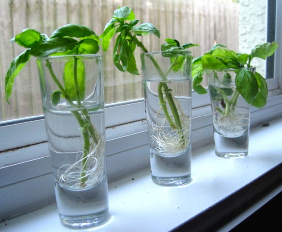 8-herbs-and-vegetables-you-can-regrow-again-and-again-httpwww-regrowing-basil