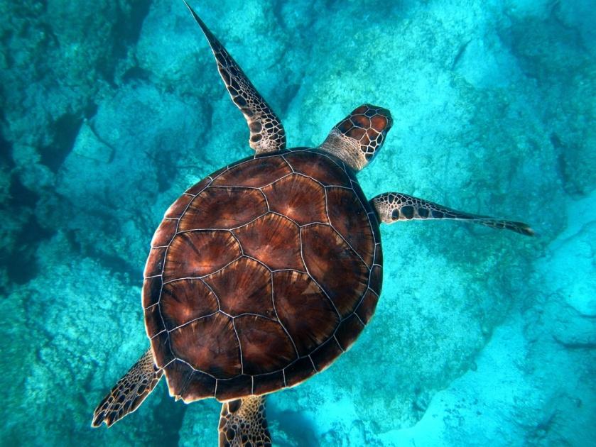 underwater-biology-turtle-sea-turtle-reptile-fauna-1405921-pxhere.com