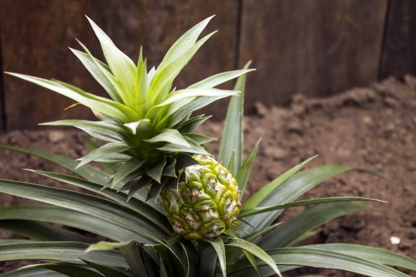 pineapple-643112_1920